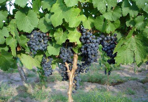 Возведение виноградника для начинающих